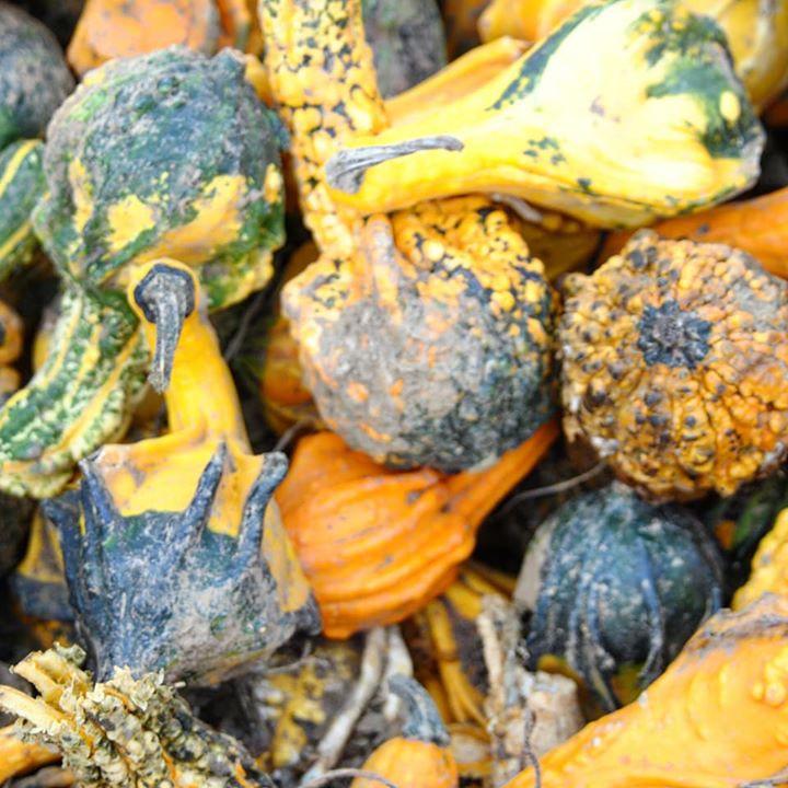 Pumpkin picking at Beluncle Farm, Kent