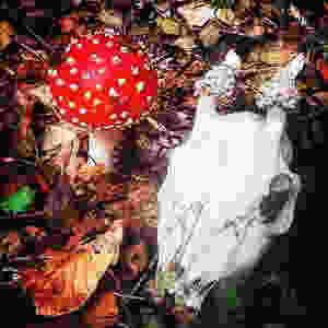 Fly Agaric toadstool by deer skull