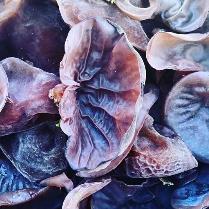 Jelly Ear Wood Ears mushrooms
