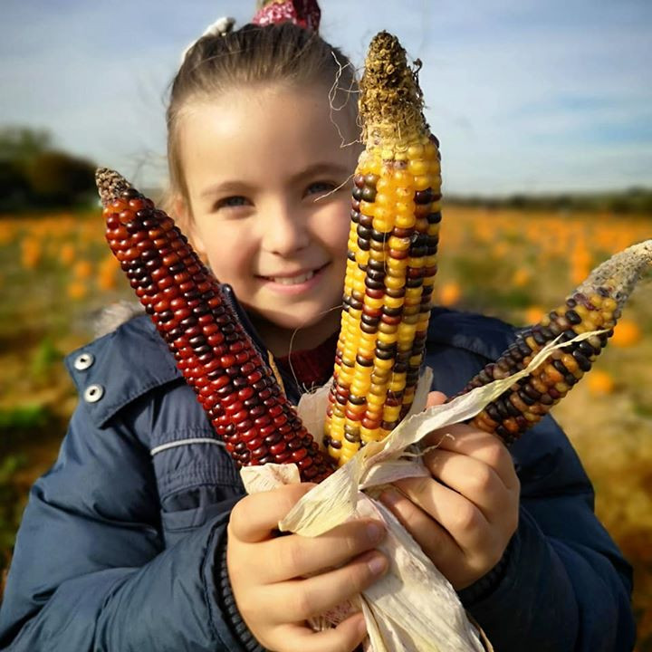 Pumpkin picking at Beluncle Farm, Kent - rainbow corn