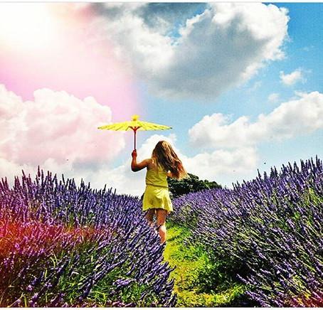 Mayfield Lavender Fields