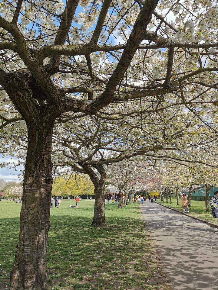 Battersea Park cherry blossom