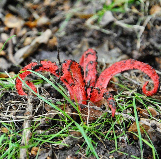 Octopus Stinkhorn Devil's Fingers fungi red
