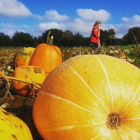 Pumpkin picking at Secretts Farm