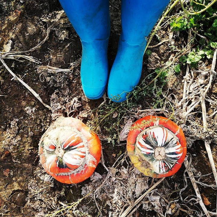 Turban Squash, Pumpkin picking at Beluncle Farm, Kent