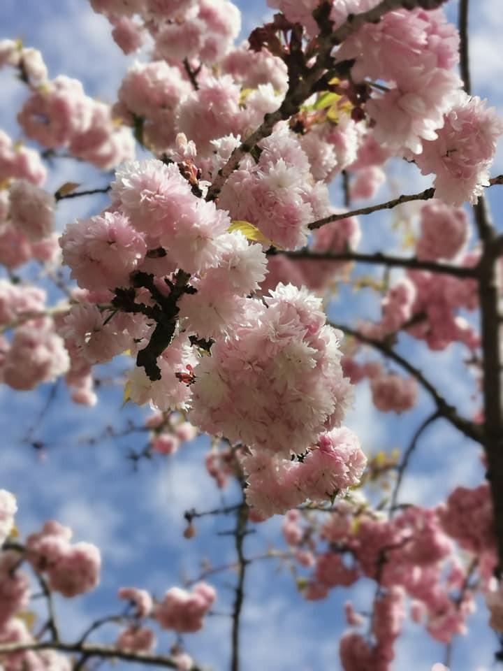 Kyoto Garden Holland Park London cherry blossom