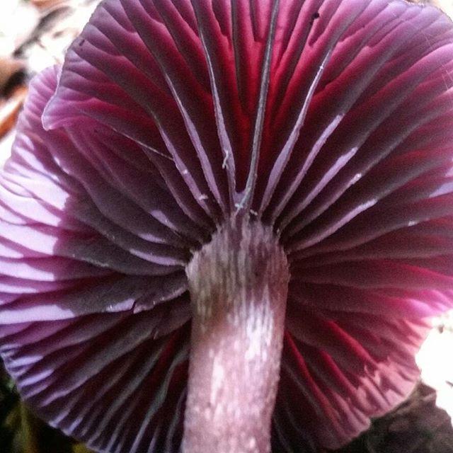Amethyst Deceiver purple mushroom