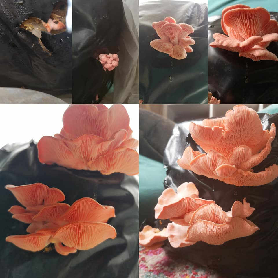 growing pink oyster mushrooms at home