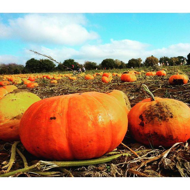 pumpkins at Secretts farm
