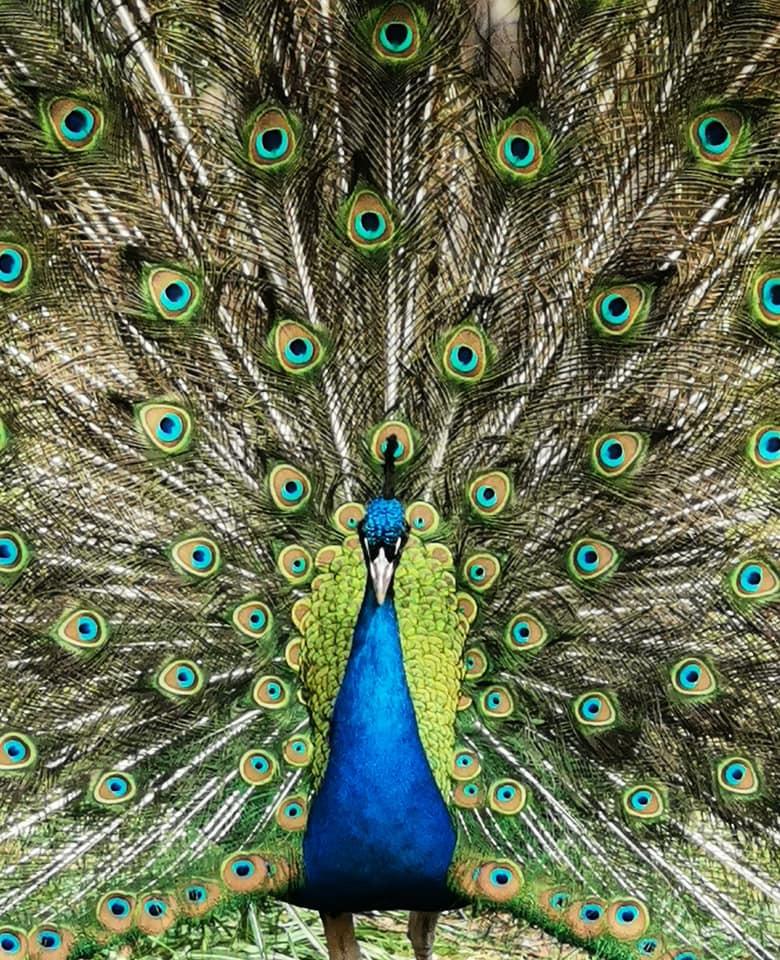 Kyoto Garden peacock London