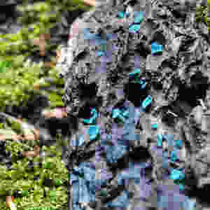 Chlorociboria blue fungi mushrooms