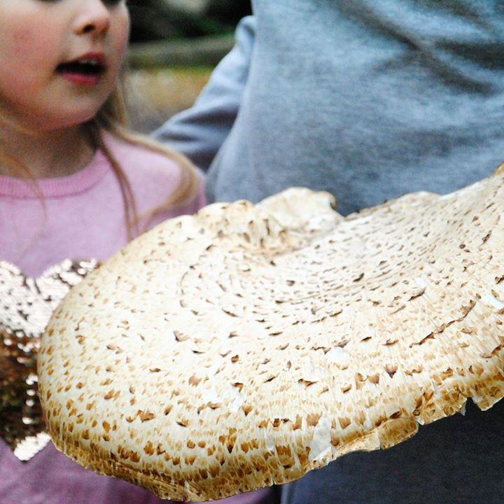 Huge Dryad's saddle mushroom