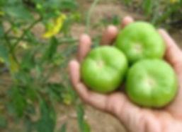 tomatillos_edited.jpg