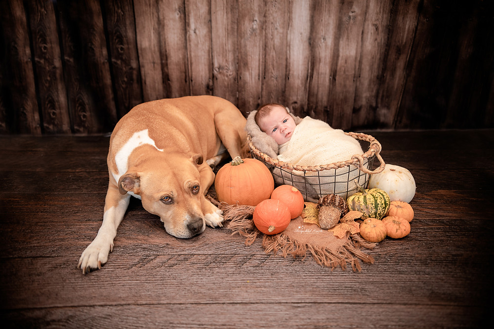 a large brown dog lying next to a baby girl in a basket, surrounded by pumpkins