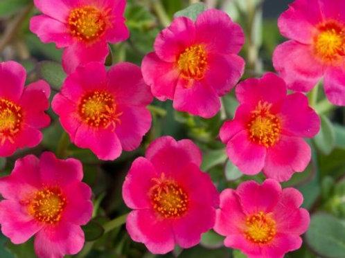 Portulaca - Pazzaz Deep Pink