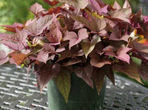 Sweet Potato Vine - Rusty Red