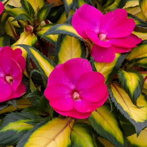 Sunpatiens - Compact Tropical Rose