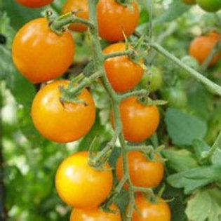 Cherry Tomato - Sunsugar - AVAILABLE STARTING 4/20
