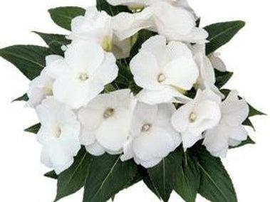 New Guinea Impatiens - Cabano White