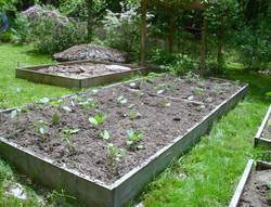 Planting eggplant