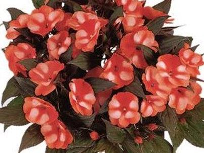 New Guinea Impatiens - Bicolor Orange