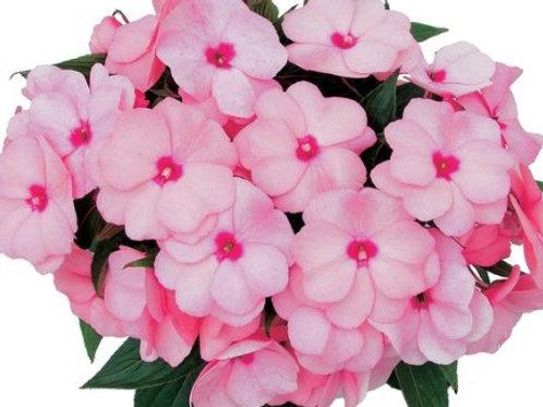 New Guinea Impatiens - Light Pink