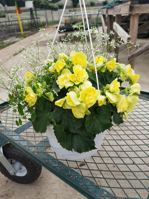 Begonia - Solenia Yellow Hanging Basket