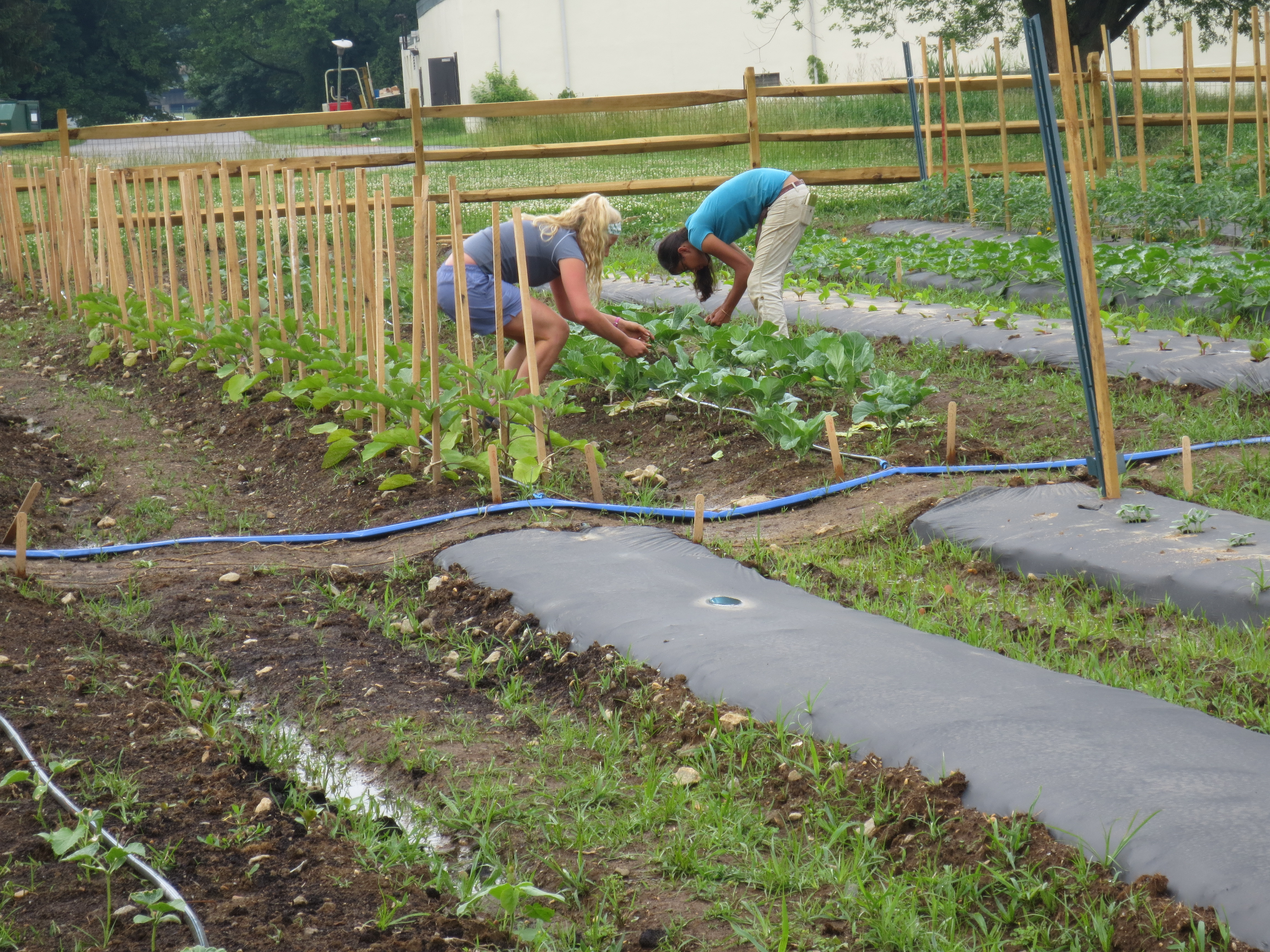 Carrot Growing and Harvesting Tips