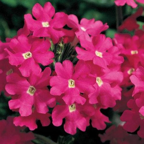 Verbena - Lanai Deep Pink