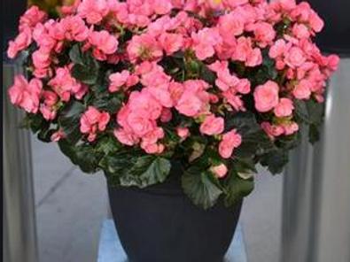 Begonia - Chloe Pink