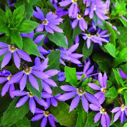 Scaevola - Surdiva Blue Violet