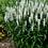 Thumbnail: Veronica Magic Show White Wands (Proven Winner)