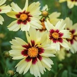 Coreopsis Uptick Cream and Red