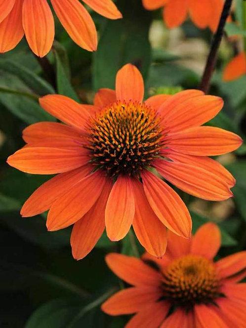 Echinacea - Sombrero Adobe Orange