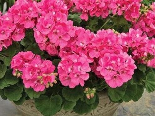 Geranium - Americana Pink