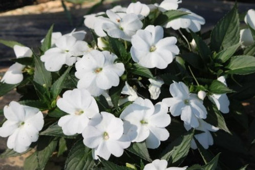 Sunpatiens - Compact White