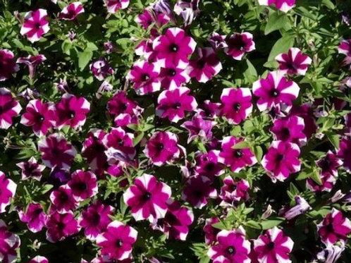 Petunia - Sanguna Patio Shortcake Blueberry