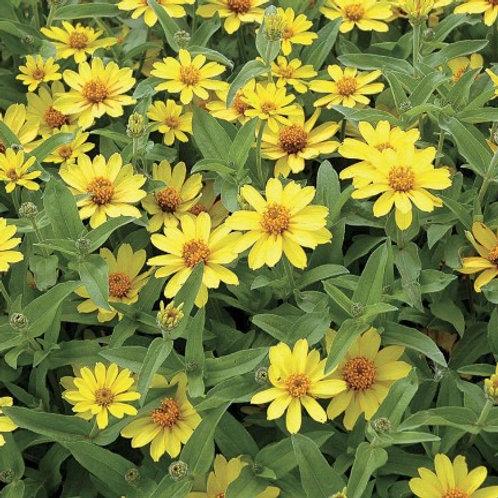 Zinnia - Profusion Yellow