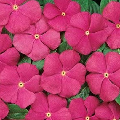 Vinca - Pacifica XP Deep Orchid