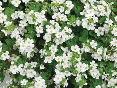 Bacopa - Calypso Jumbo White