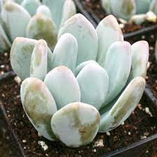 Pachyphytum - Bracteosum