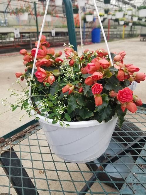 Begonia - Chloe Pink Hanging Basket