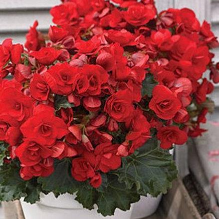 Begonia - Vermillion Red