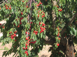 Growing Cherries