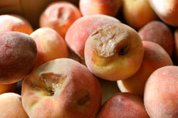 Selecting the perfect peach