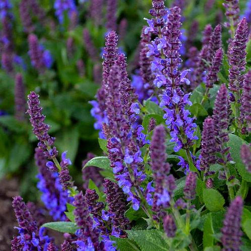 Salvia - Violet Profusion (Proven Winner)