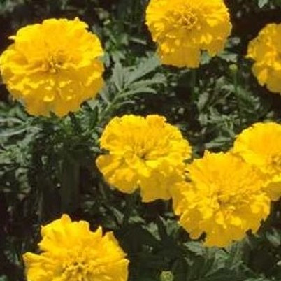 Marigold, French Crested - Bonanza Yellow