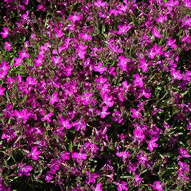 Lobelia Techno Heat Violet