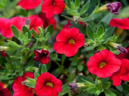 Calibrachoa - Aloha Kona Cherry Red