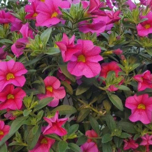 Calibrachoa - Aloha Kona Hot Pink
